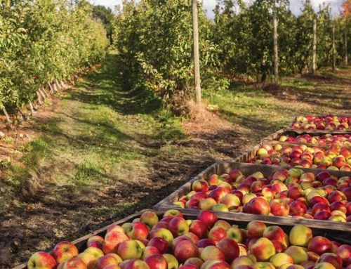 Fruit pickers needed for Tasmania's harvest